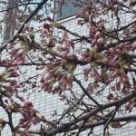 桜が咲きそうです😊